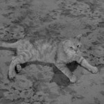 Cats in Film – Miss Paisley's Cat (1957, Alfred Hitchcock)