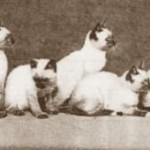 Cats in the 19th Century (Part 4 – First Siamese Cat in  America)