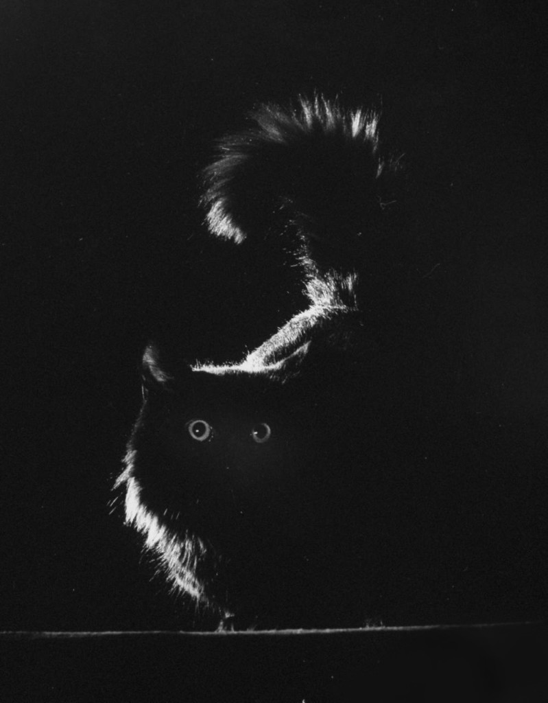 G. Mili's cat Blackie 1943