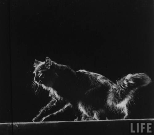 Gjon Mili, Portrait of Blackie, Gjon Mili's cat, 1943.