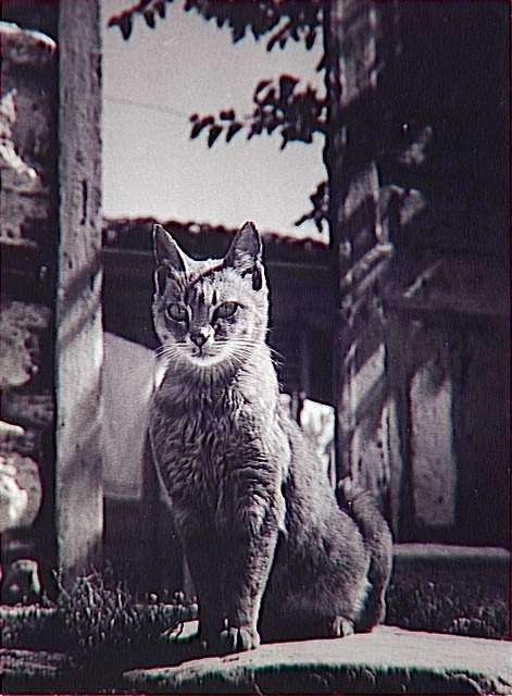 Cat of Athens 1953, cat photography