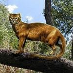 Leman's Cat