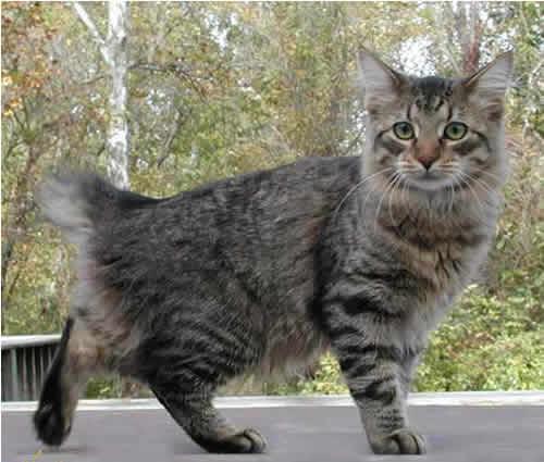 America Bobtail Cat