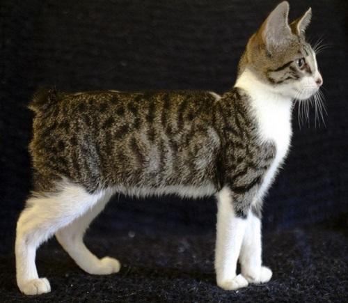 American Bobtail Cat Tabby
