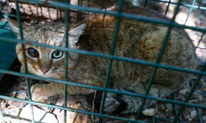 Cat Fox of Corsica