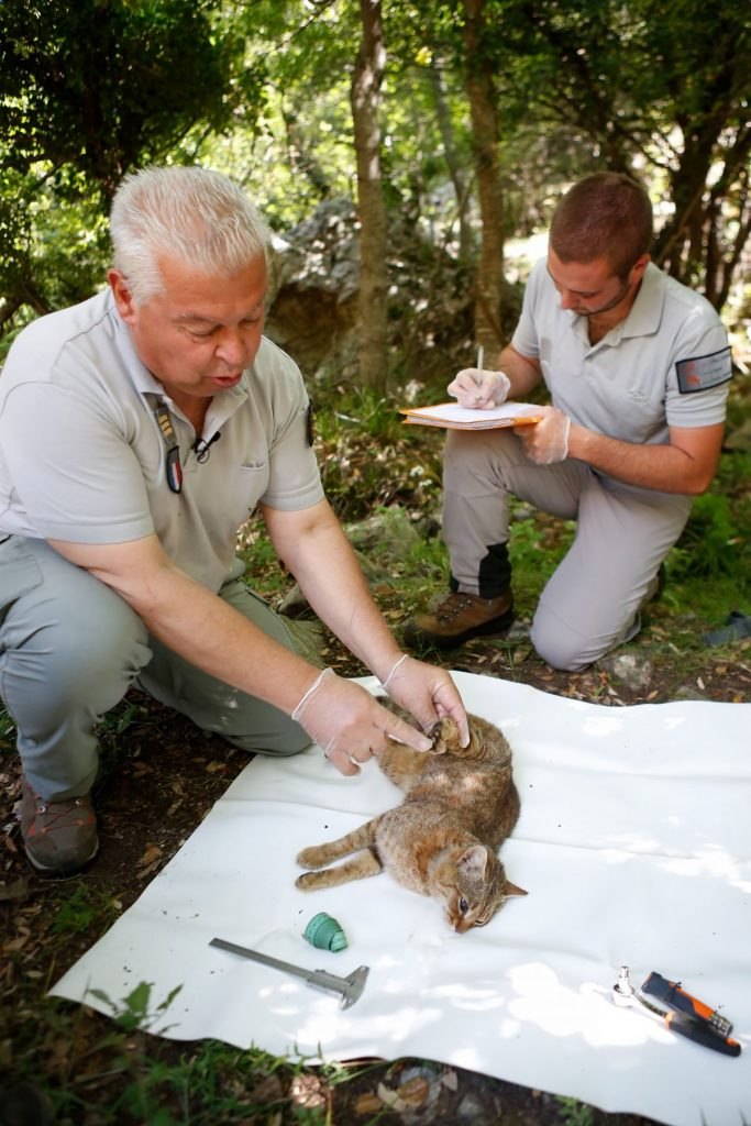 Examining the Cat Fox on Corsica