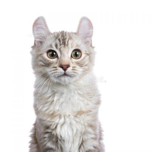 American Curl Cat Breed 2
