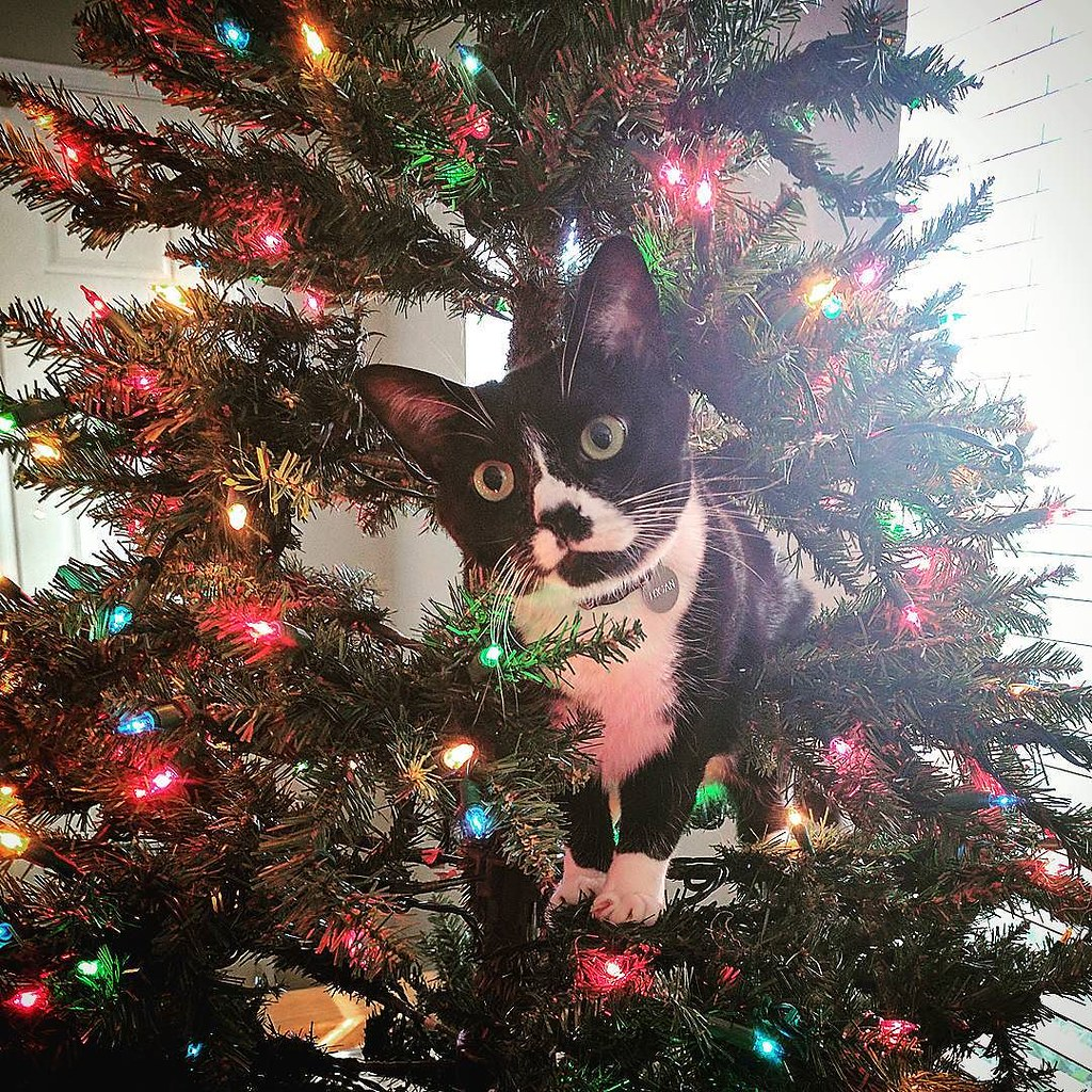 Tuxedo Cat sitting in tree