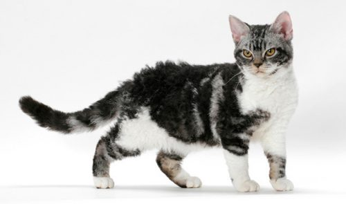 American-Wirehair cat
