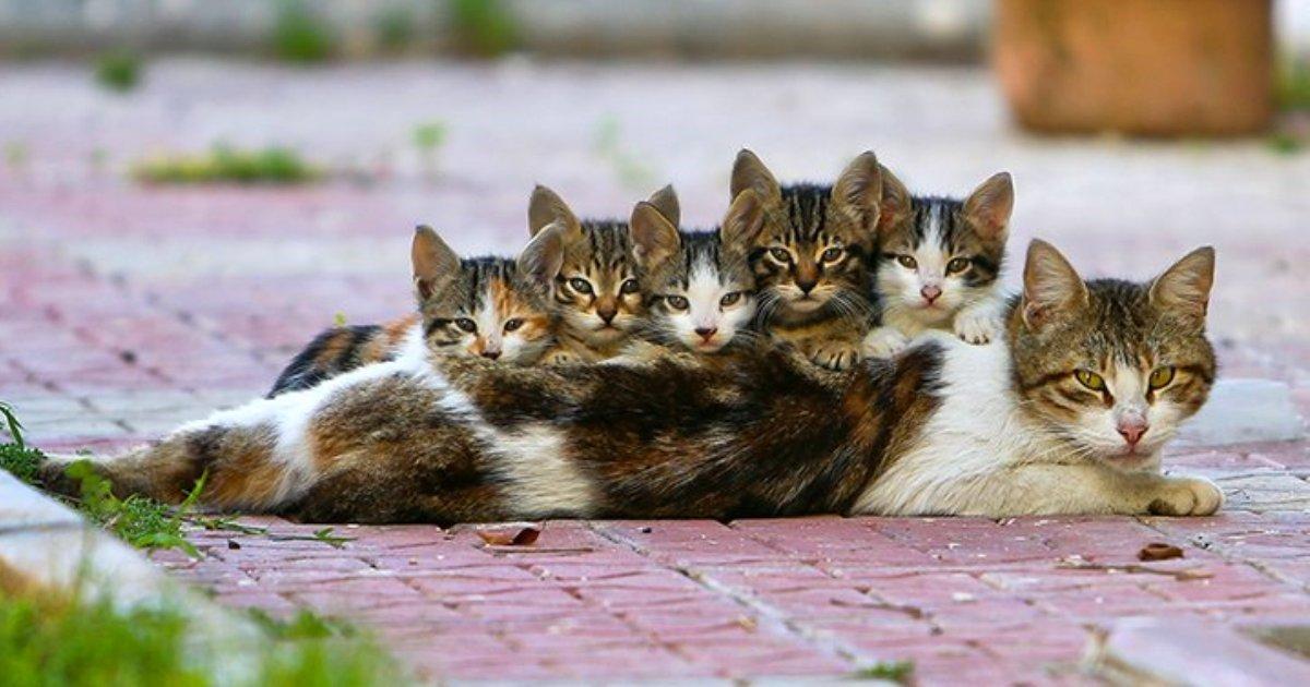 Anatolian cat and kittens