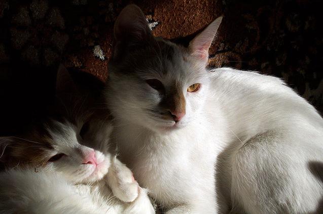 anatolian-cat