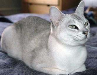 asian cat breed Malayan cat breed