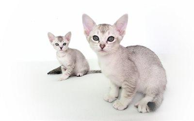 Asian cat Malayan cat