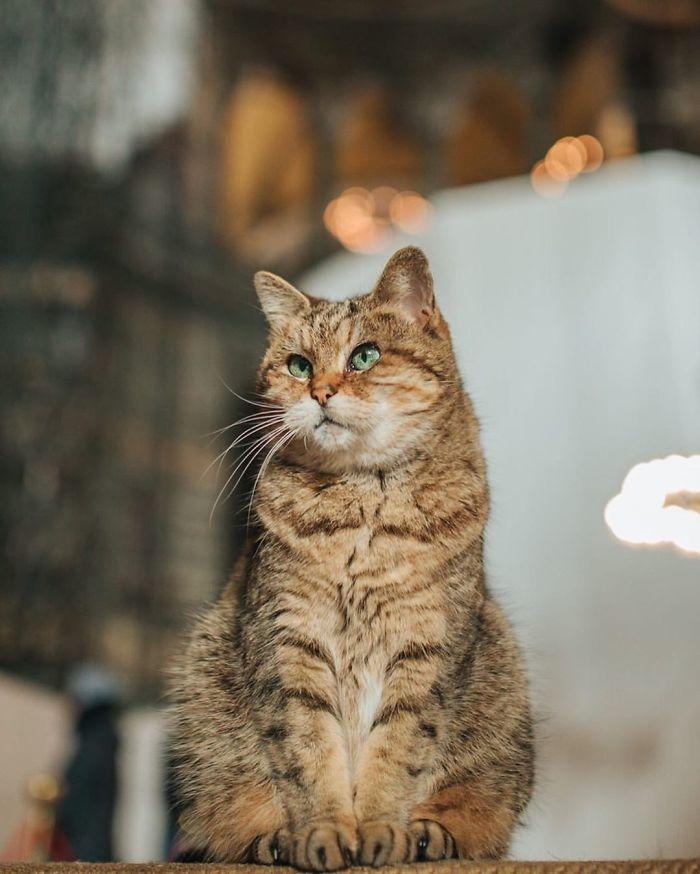 Gli Istanbul cat