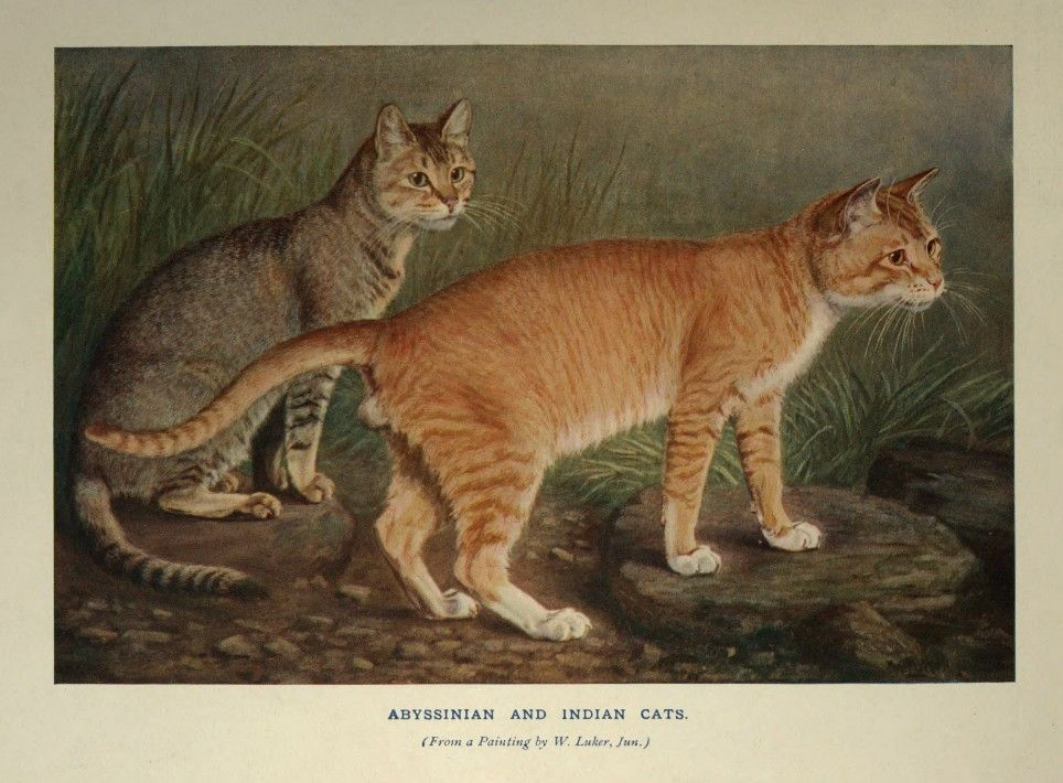 Abyssinian and Indian Cats from a painting by William Luker. Jr