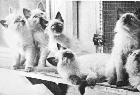 Sylvia Holland's Balinese kittens, circa 1971