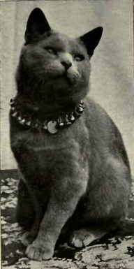 Blue Shorthair, from Frances Simpson's Book of the Cat, 1903