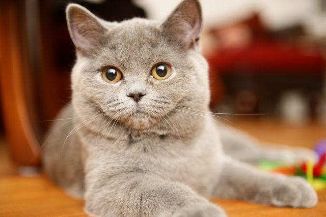 British Shorthair cat at The Great Cat