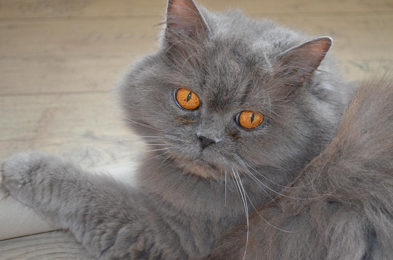 British Longhair cat at The Great Cat