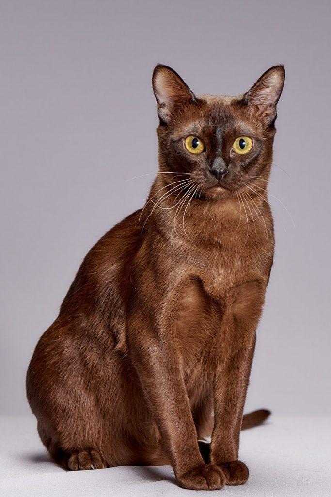Burmese cat breed at The Great Cat