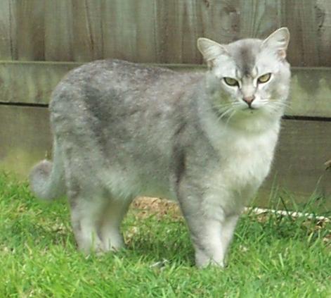 A Male Burmilla Cat, Photo by David Johnson