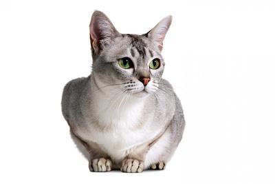 Burmilla cat breeds