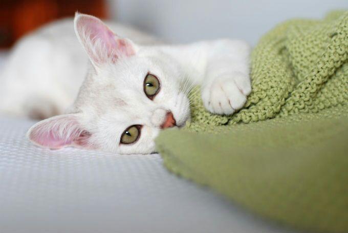 Burmilla green eyes